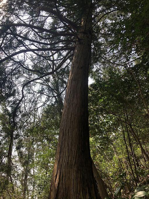 山林物件 ヒノキ大径木