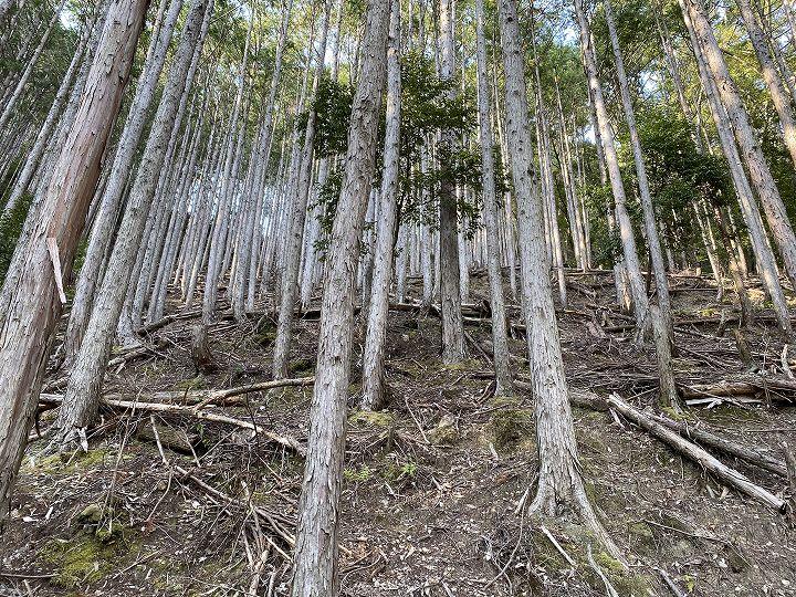 奈良県十津川村山林物件 スギ