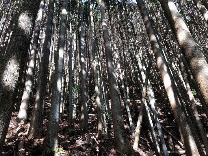 山林物件 スギ