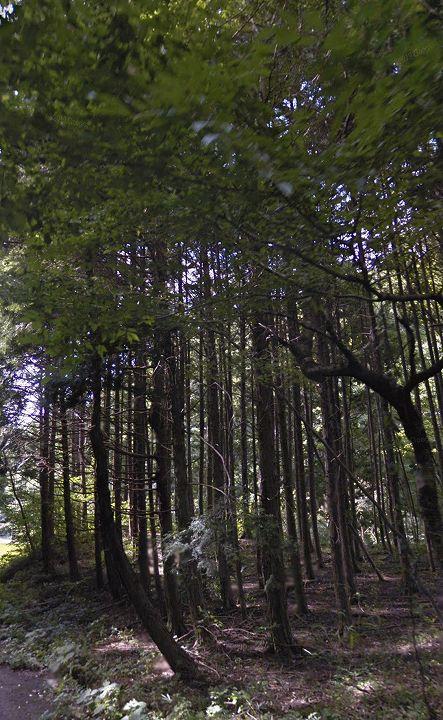 栃木県山林物件 立木