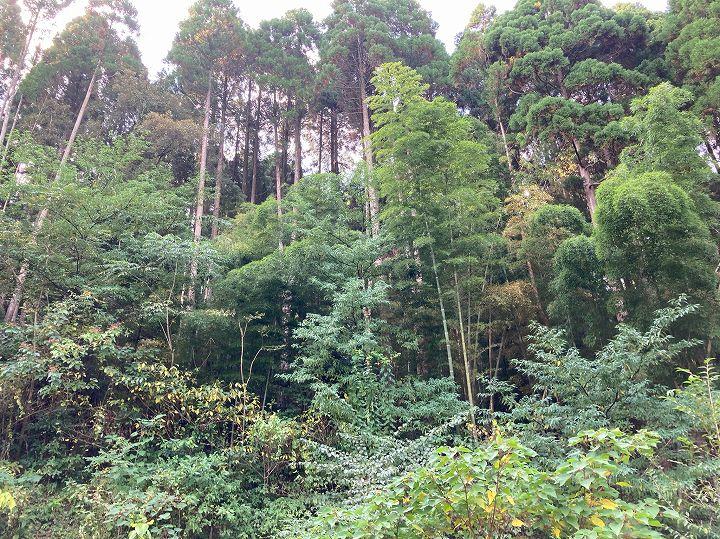 鹿児島県山林物件 スギ大径木