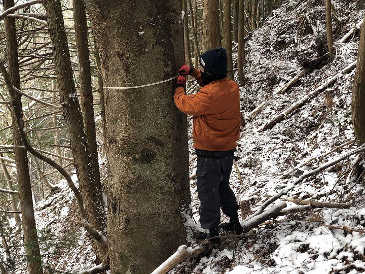 山林内ケヤキ大径木