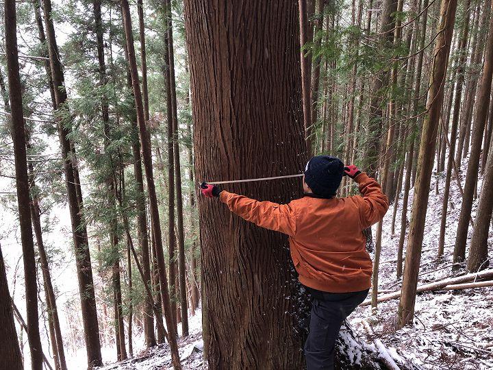 山林内スギ大径木