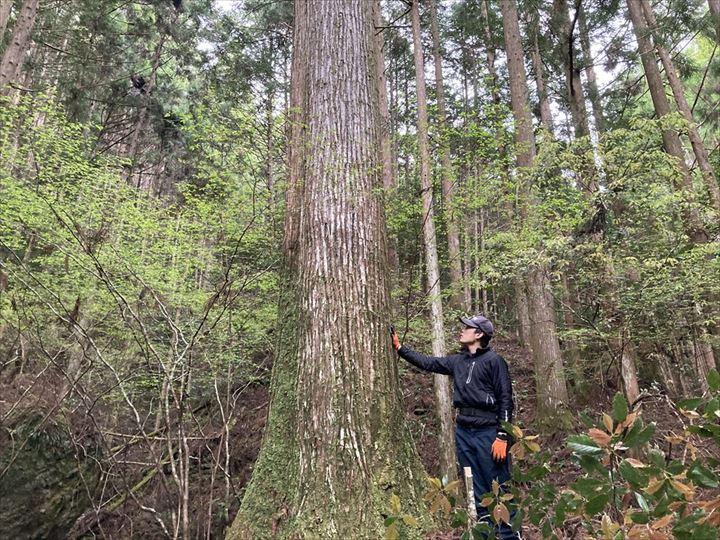山林内大径木 三重県熊野市